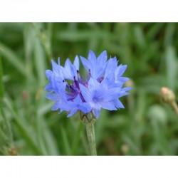Bleuet Bleu